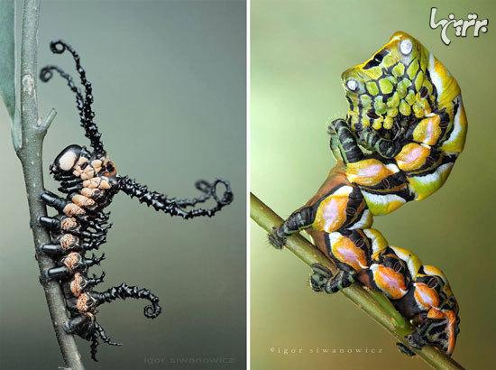 تصاویر خیره کننده از کاترپیلارهای منحصر به فرد