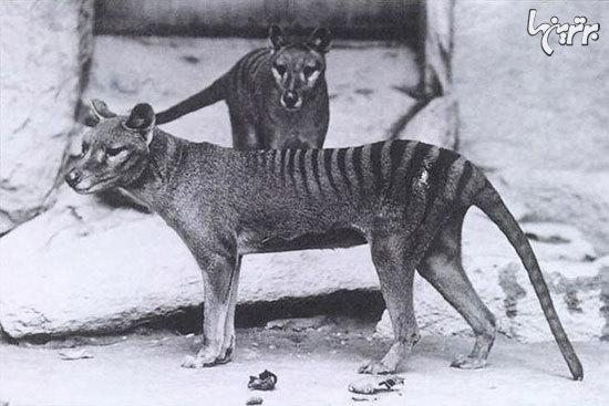 گونههای جانوری منقرض شدهای که به لطف فناوریهای نوین ممکن است دوباره زنده شوند